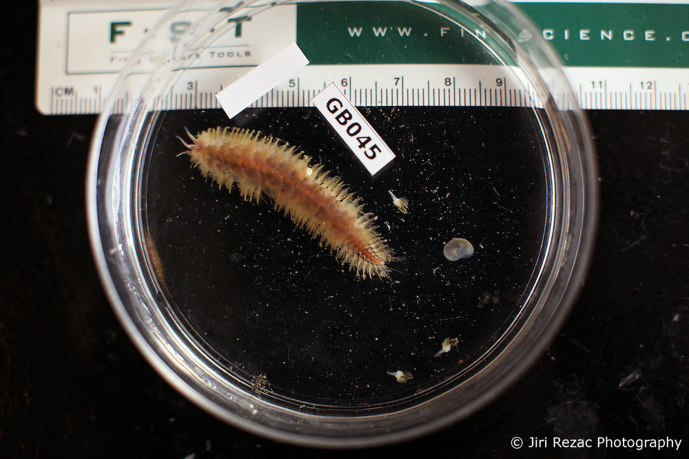 USA ALASKA BERING SEA 16JUL12 - A scale worm, a type of Polychaete worm taken from the seafloor at Pribilof Canyon in the Bering Sea.......The Greenpeace ship Esperanza is on an Arctic expedition to study unexplored ocean habitats in the Bering and Chukchi Seas threatened by offshore oil drilling, as well as industrial fishing fleets.......Photo by Jiri Rezac / Greenpeace......© Jiri Rezac / Greenpeace