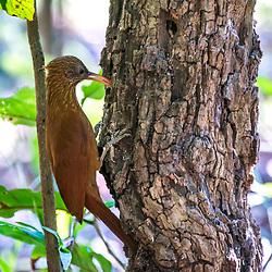 """Arapaçu-beija-flor (Campylorhamphus trochilirostris) fotografado em Corumbá, Mato Grosso do Sul. Bioma Pantanal. Registro feito em 2017.<br /> <br /> <br /> <br /> ENGLISH: Red-billed Scythebill photographed in Corumbá, Mato Grosso do Sul. Pantanal Biome. Picture made in 2017."""