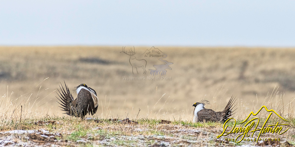 Sage Grouse strutting their stuff on an Idaho Plain.  Every spring male grouse get all hormoned up puff up their chests fluff out their tail feathers and try to impress then hens of the lek.