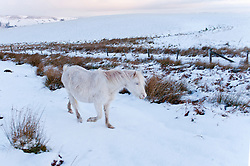 © London News Pictures. 30/01/2015. Mynydd Epynt, Powys, Wales, UK. A cream coloured Welsh pony forages for gras beneath the frozen snow. There is snow on land above 300 metres with a wind chill giving a 'Feels Like' temperature of about minus 8 degrees celcius on the Mynydd Epynt moorland range of hills in Powys, Mid Wales. Photo credit : Graham M. Lawrence/LNP.
