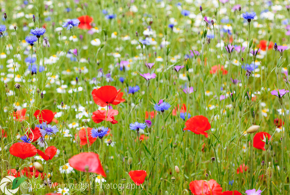 Wildflowers, including field poppies, corn cockles, cornflowers and ox-eye daisies.