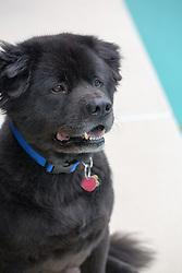 black Chow Labrador