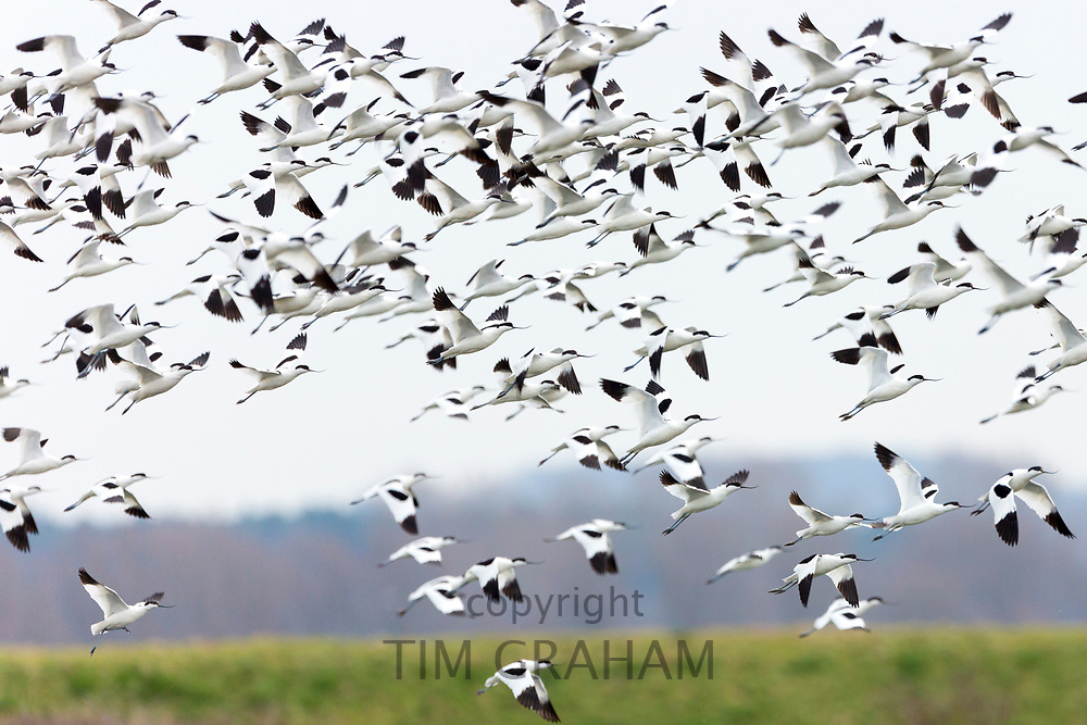 Large flock of Avocets, Recurvirostra, wading birds in flight above marshes and wetlands in North Norfolk, UK