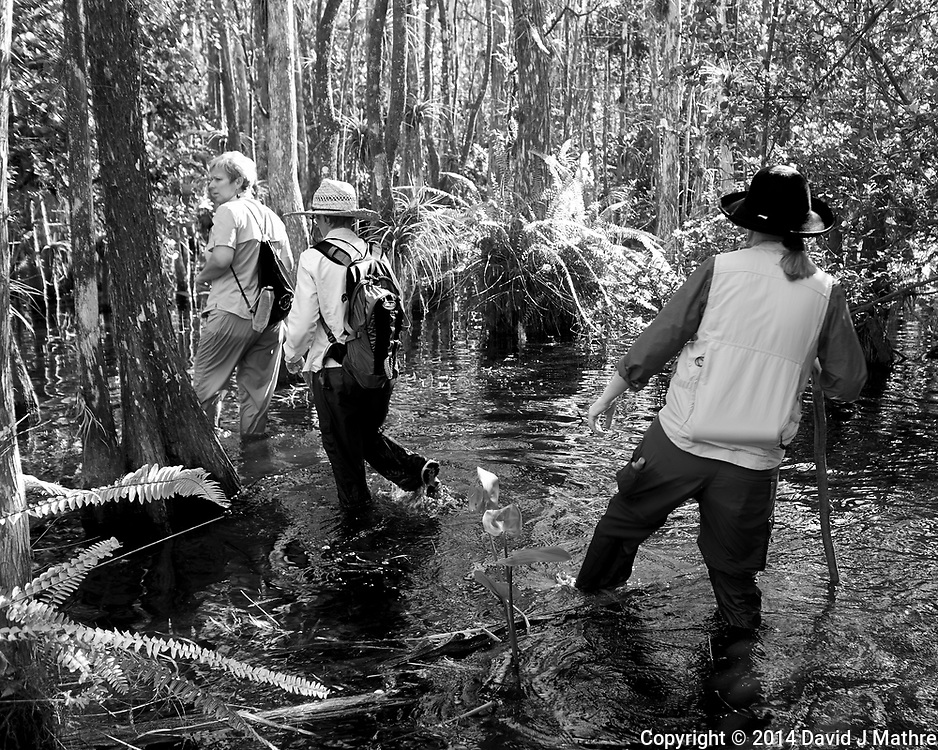 Feet are now wet. Swamp walk with Kristen and Angela in the Everglades behind  Clyde Butcher's Big Cypress Gallery. Image taken with a Leica X2 camera (ISO 100, 24 mm, f/3.5, 1/50 sec).