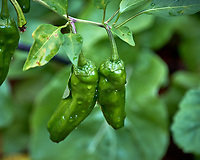 Shishito sweet peppers. Backyard urban garden in St. Petersburg. Image taken with a Fuji X-T2 camera and 100-400 mm OIS lens (ISO 200, 291 mm, f/5.6, 1/350 sec).