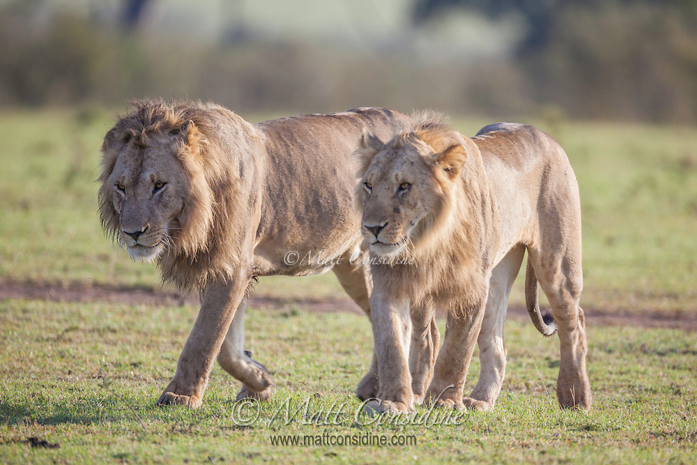 Young male lions, Panthera leo, in a bachelor coalition walking across short grass in the Masai Mara Reserve, Kenya, Africa (photo by Wildlife Photographer Matt Considine)