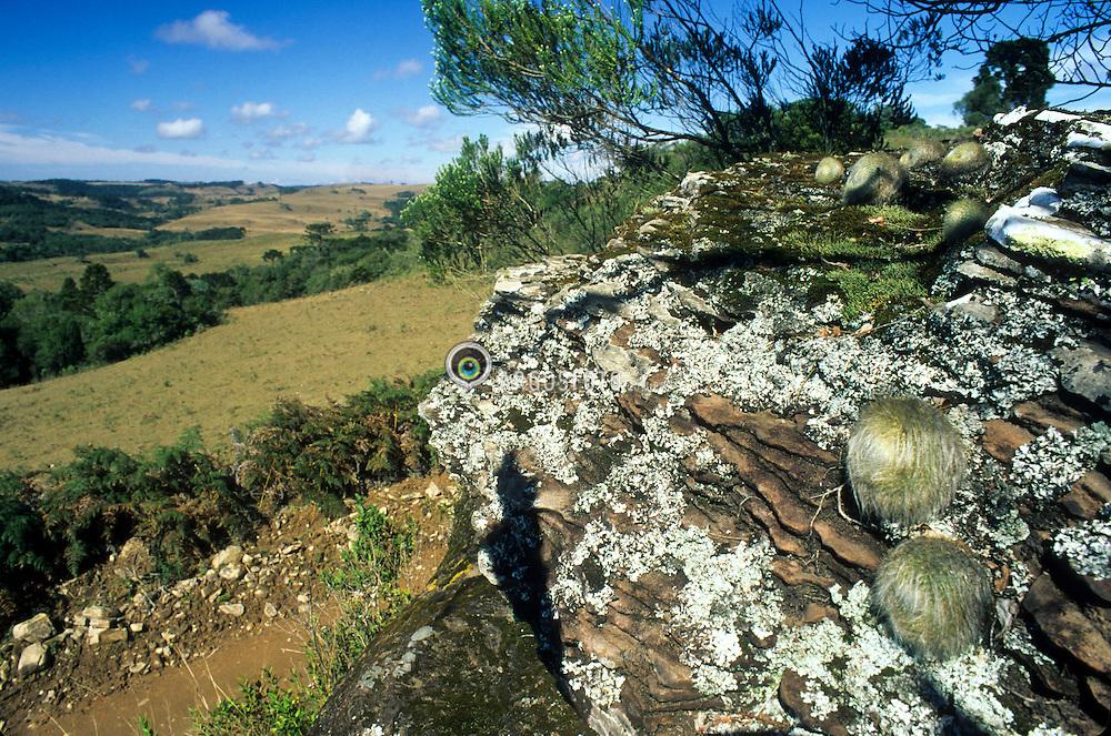 Jardim rupestre com cactos  em afloramento rochoso. Jaquirana RS 2007 © Paulo Backes
