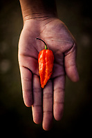 The Naga chili, the world's hottest chili, in Nagaland, India.