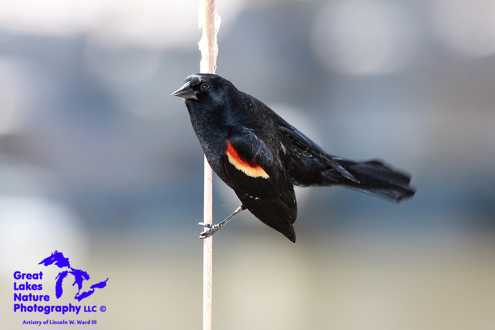 A very agile, male Red-winged Blackbird lands on a cattail.