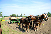Amish Farm, New York, USA a Team of horses draws a manual plow