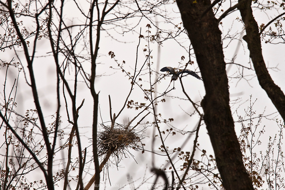 Great Blue herons nesting in an Ontario woodlot. (Ardea herodias)
