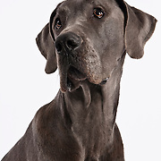 Head and shoulders shot of Great Dane on white background