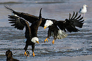 Haliaeetus leucocephalus-Bald Eagles gather in Farmington Bay,  Utah, March, 2011.  Colin E Braley (Wild West-Media)