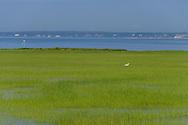 Great Egret, Munn Point, Boardwalk, Shinnecock Bay, Meadow Lane, Southampton,Long Island, New York