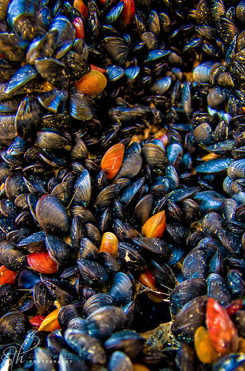 mussels under a dock at Redondo Beach - WA