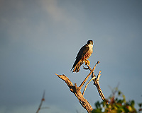 Peregrine Falcon. Early morning at Biolab Road in Merritt Island National Wildlife Refuge. Image taken with a Nikon D700 camera and 18-300mm VR lens (ISO 200, 300 mm, f/8, 1/320 sec).