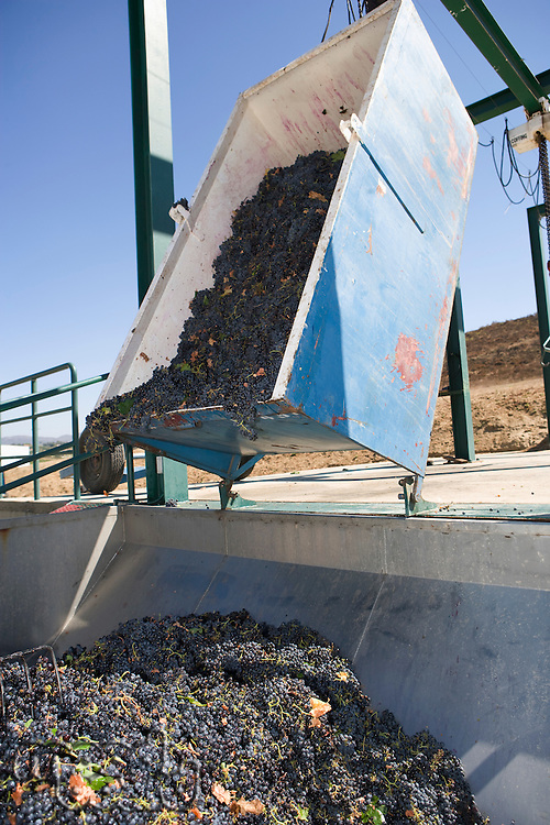 Harvested grapes in container