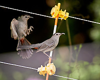 Pair of Gray Catbirds. Image taken with a Nikon D4 camera and 200-500 mm f/5.6 VR lens