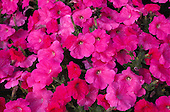 Ornamental flowers: cultivated, garden, horticulture, floriculture