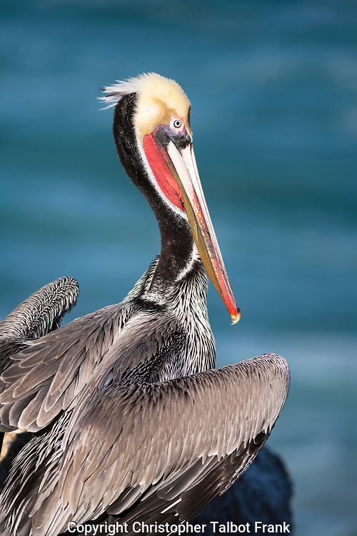 I used a telephoto lens to take this photo of a colorful young Brown Pelican in La Jolla.  The sea birds bright red and yellow colors stand out from the soft blue Pacific Ocean backdrop.