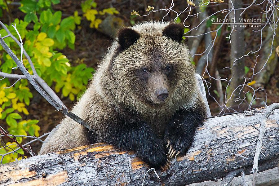 Grizzly bear yoy cub, British Columbia, Canada