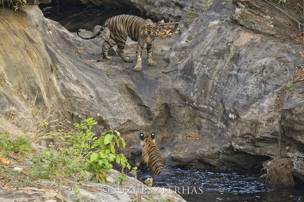 Tiger <br /> Panthera tigris<br /> 18 month old cub(s) at waterhole<br /> Bandhavgarh National Park, India<br /> *Endangered species