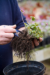 Repotting and dividing a hepatica.<br /> Carefully removing soil from roots with a pair of tweezers