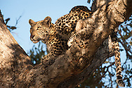 Young male leopard close to the Chitabe camp, Okavango Delta, Botswana