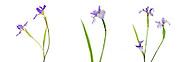 30099-00201 Blue Flag Iris (Iris versicolor) with white background, Marion Co., IL