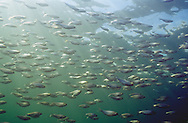 Gizzard Shad school in Lake Michigan<br /> <br /> ENGBRETSON UNDERWATER PHOTO