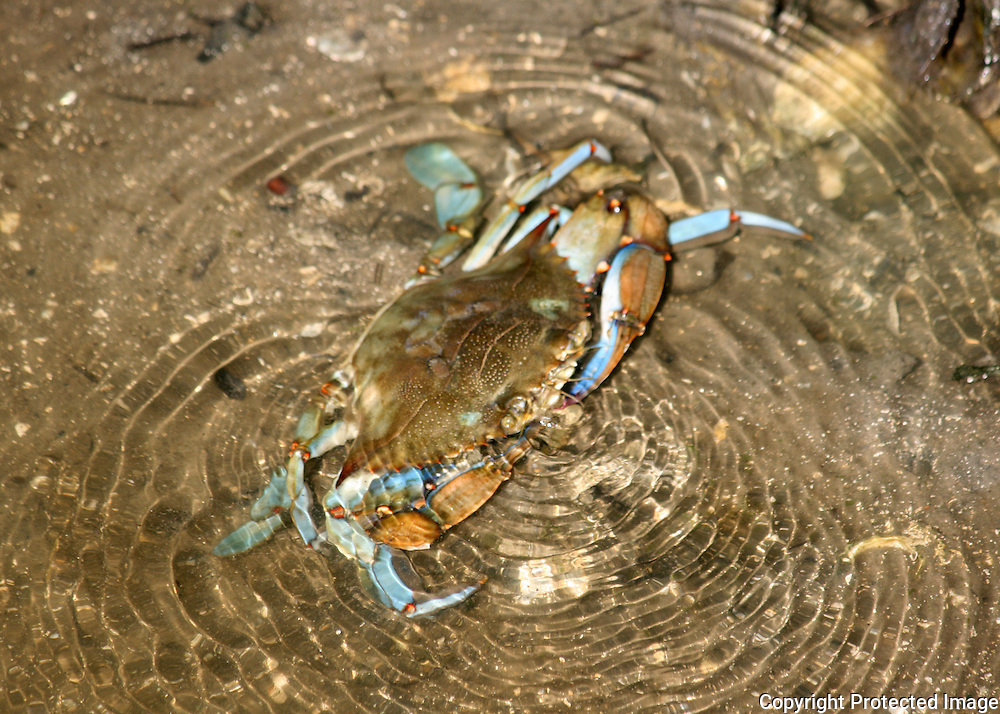 Blue Crab feeding in the shallows of a Jekyll Island canal