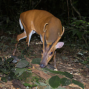 Male Indian muntjac (Muntiacus muntjak), also called the red muntjac, common muntjac or barking deer. Kaeng Krachan National Park, Thailand.