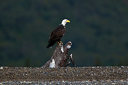 Bald Eagle (Haliaeetus leucocephalus) sitting on a stump along a rocky beach along the Cook Inlet, Lake Clark National Park, Alaska, United States of America