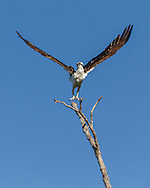 Osprey makes vertical take-off with a powerful wings, blue sky background. © 2015 David A. Ponton