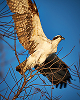 Osprey taking off from a tree at Fort De Soto Park. Pinellas County, Florida Image taken with a Fuji X-T2 camera and 100-400 mm OIS lens (ISO 200, 400 mm, f/5.6, 1/550 sec).