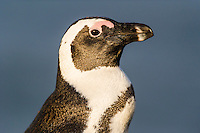 African Penguin adult portrait, Bettys Bay Marine Protected Area, Western Cape, South Africa