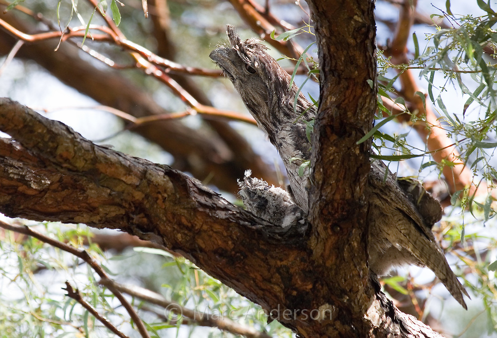 Tawny Frogmouth (Podargus strigoides) and chick on nest, Royal National Park, Sydney, Australia