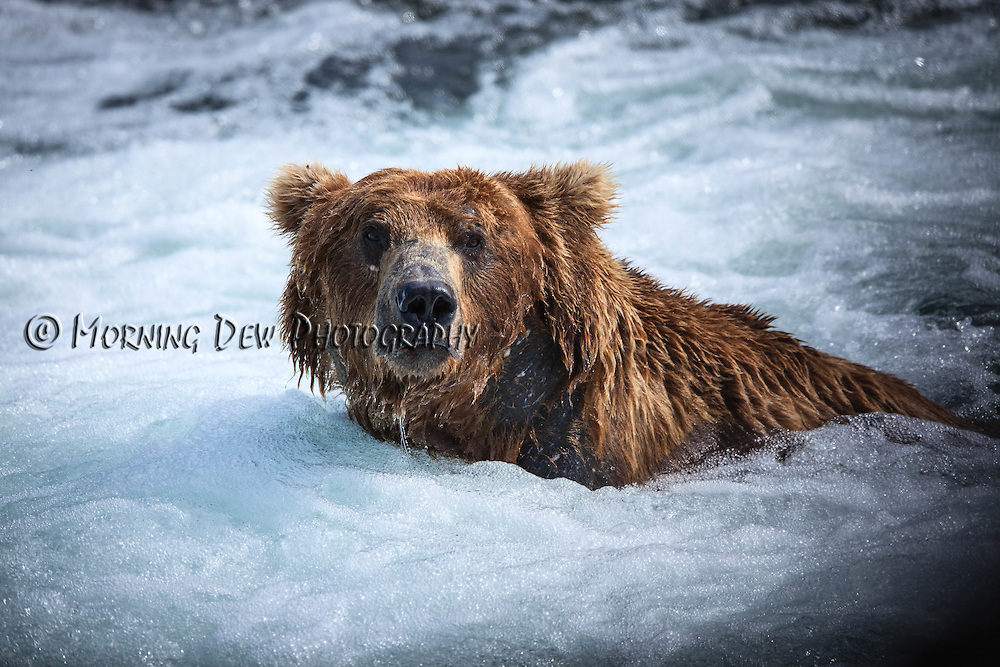 "A large male brown bear fishes for salmon in the ""jacuzzi"" at the base of Brooks Falls, Katmai National Park"