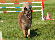 Belgian Tervuren competing in agility during AKC event in NY