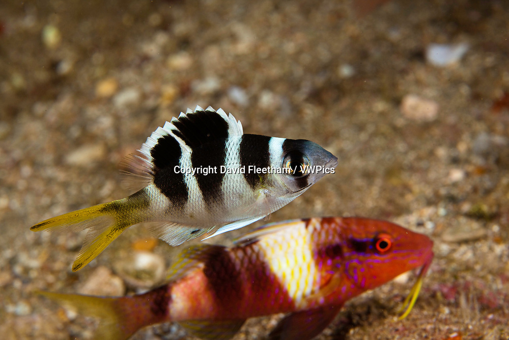 Juvenile bigeye emperor, Monotaxis grandoculis, Hawaii. A goatfish is below in the background.
