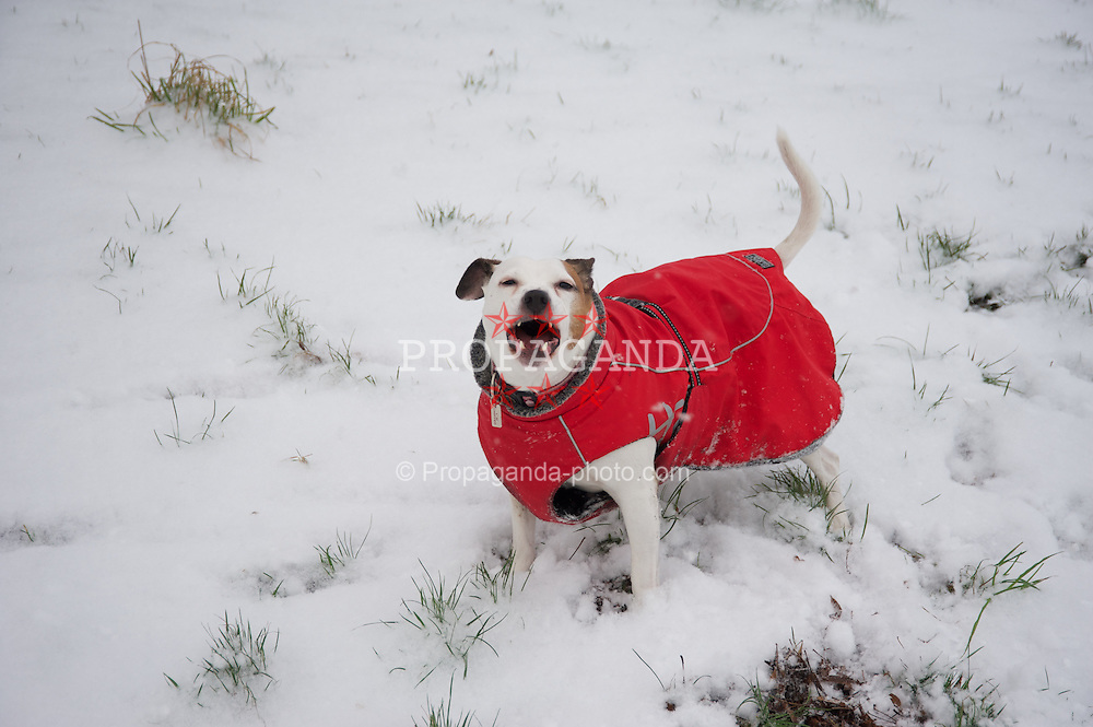 LIVERPOOL, ENGLAND - Friday, January 18, 2013: Missie the dog plays in the first snow fall of the winter in Liverpool's Sefton Park. (Pic by David Rawcliffe/Propaganda)