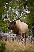 Rocky Mountain Elk, Cervus elaphus nelsoni, at Yellowstone National Park, WY, on Sept. 8, 2012.  (Photo by Aaron Schmidt © 2012)
