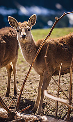 THEMENBILD - Rotwild auf einer Wiese in einem Wildtiergehege, aufgenommen am 07. März 2019 in Aurach, Oesterreich // Red deer in a meadow in a wild animal enclosure, Austria on 2019/03/07. EXPA Pictures © 2019, PhotoCredit: EXPA/Stefanie Oberhauser