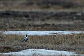 Black-bellied Plover (Numenicus americanus)