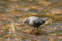 American Dipper walks on the bottom of rivers and streams by holding on the rocks on the bottom.