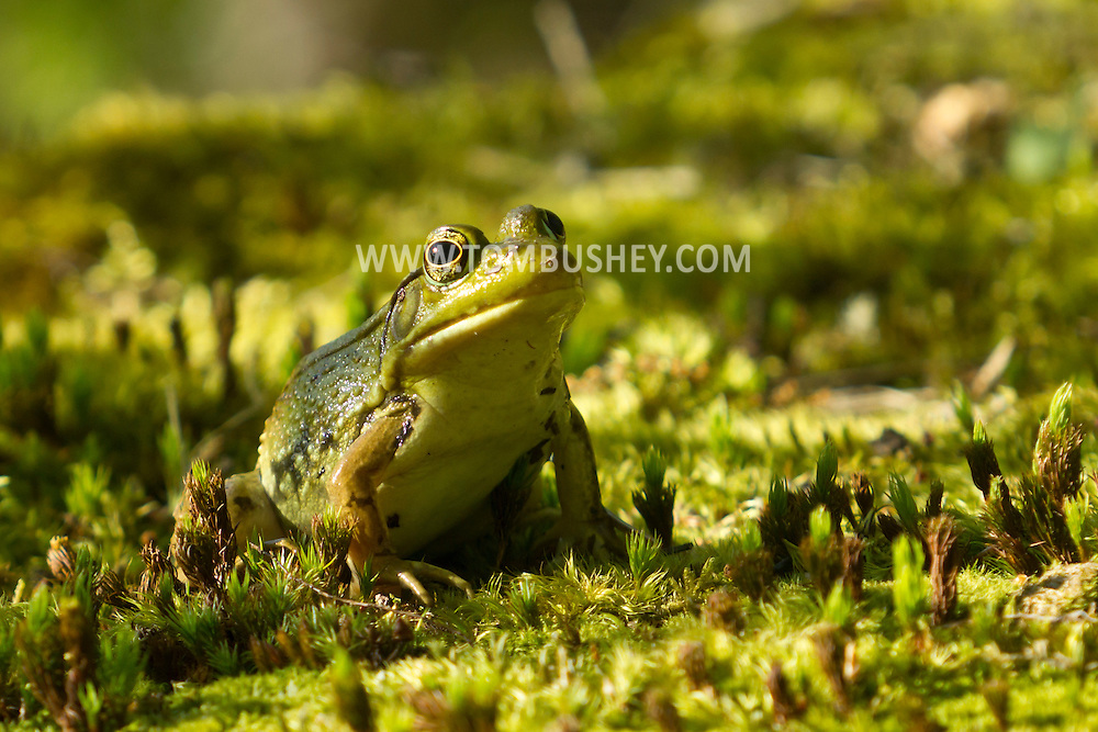 Mamakating, New York - A frog on the trail at the Bashakill Wildlife Management Area on May 2, 2013.