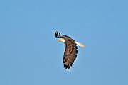 Bald eagle (Haliaeetus leucocephalus)<br /> Ear Falls<br /> Ontario<br /> Canada