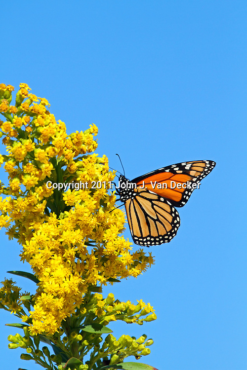 A Monarch Butterfly, Danaus plexippus, feeding on Seaside Goldenrod, Solidago sempervirens. Lavalette, New Jersey, USA. During the fall migration to Mexico, many Monarchs hug the eastern seaboard, the Atlantic Flyway, feeding on the Goldenrod plant.