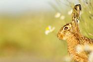 European Hare (Lepus europaeus) adult, amongst daisies in field margin, South Norfolk, UK. June.