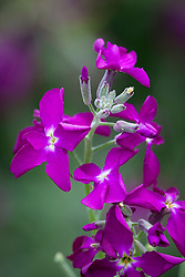 Matthiola incana. Purple stock